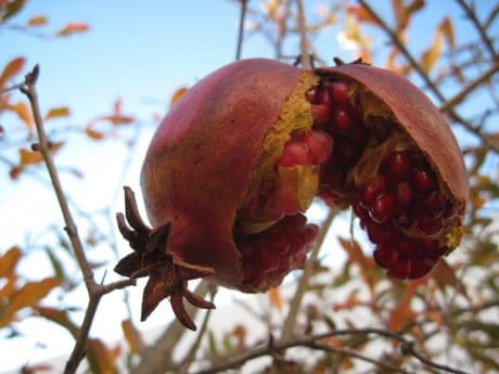 food, tree, diet, fruit, nature, pomegranate, orchard, blue sky, outdoor