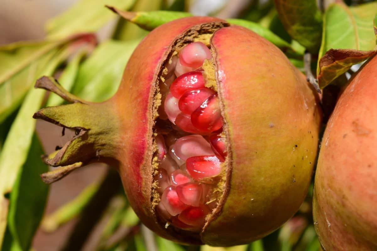 frutta, cibo, foglia, natura, melograno, albero, all'aperto