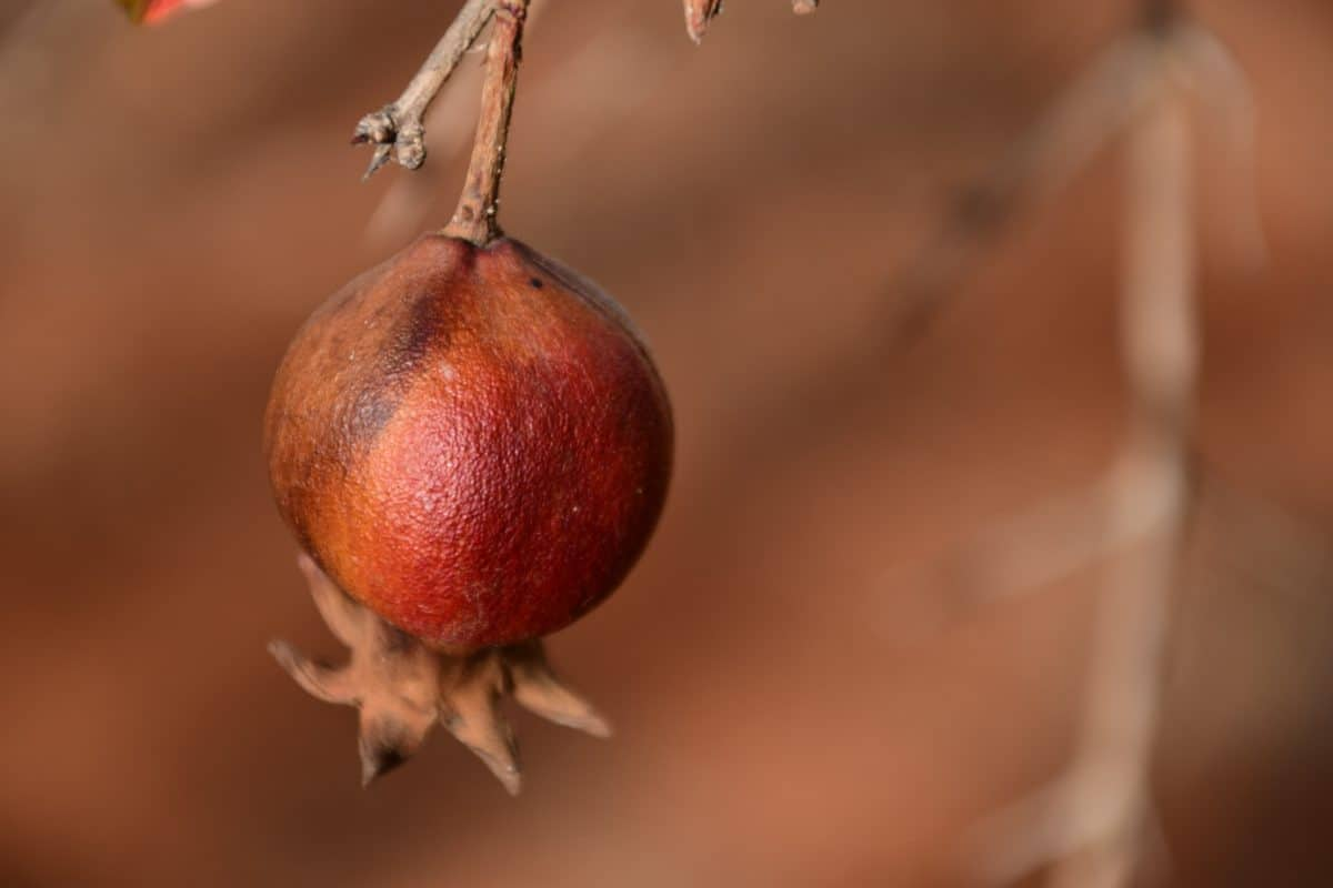 fruit, pomegranate, food, tree, orchard, red, macro, daylight, indoor