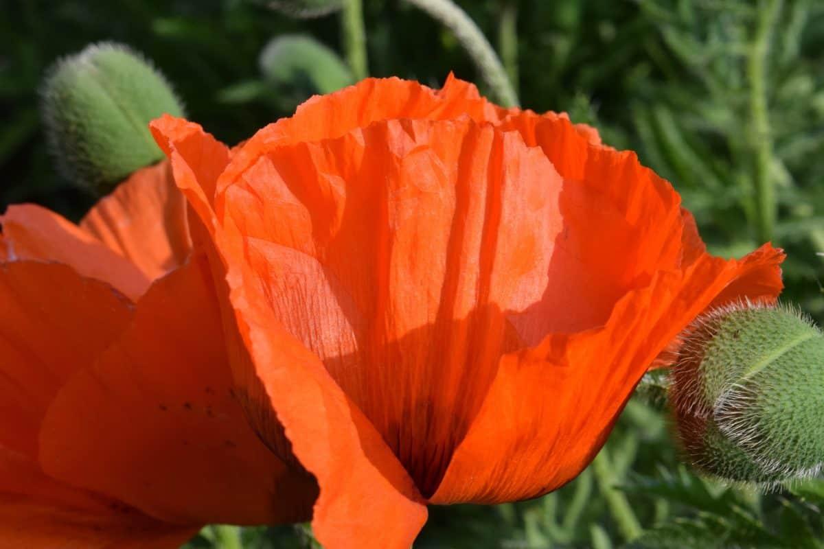 nature, opium poppy, flower, flora, leaf, garden, bloom, blossom
