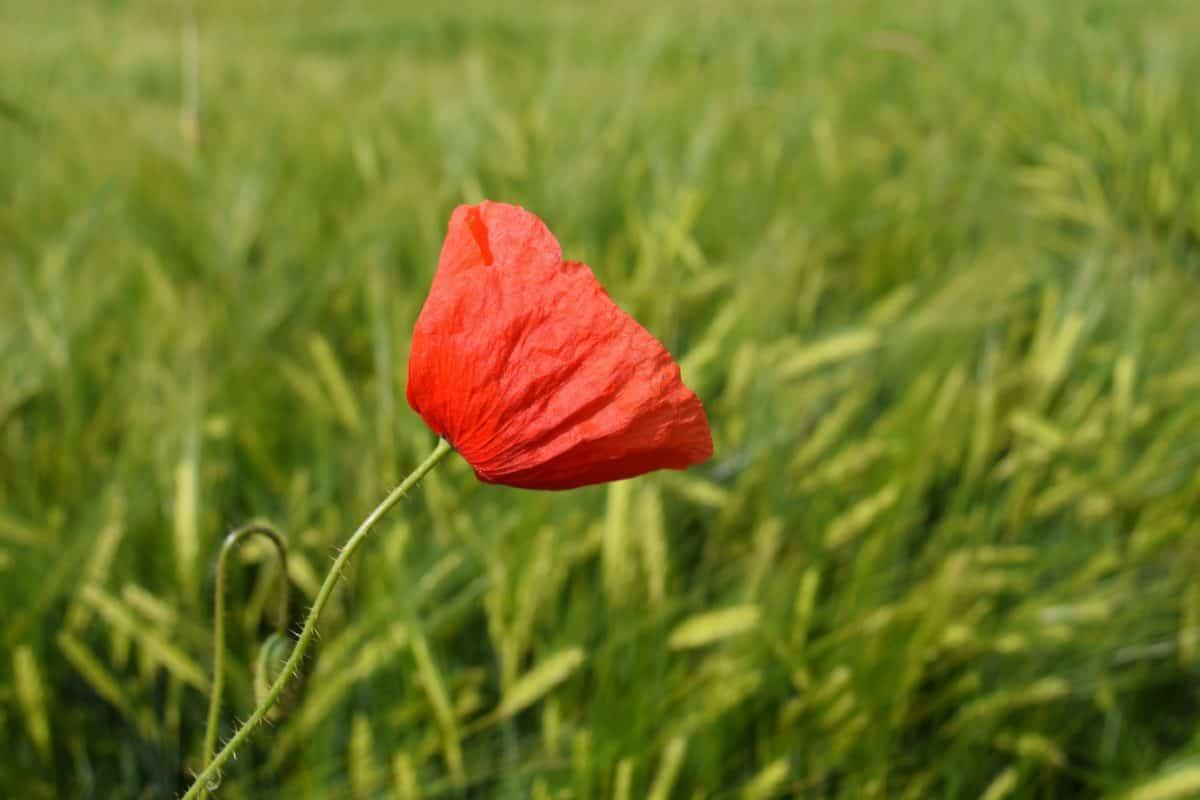 Zielona trawa, pole, flora, lato, natura, Mak, łąka, kwiat, kwiat