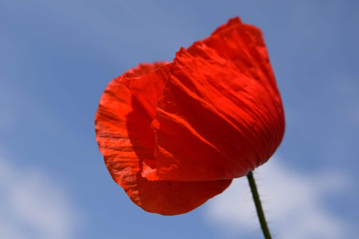 nature, sky, poppy, blue sky, macro, wildflower, outdoor, plant