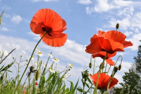 flora, field, poppy, summer, nature, flower, blue sky