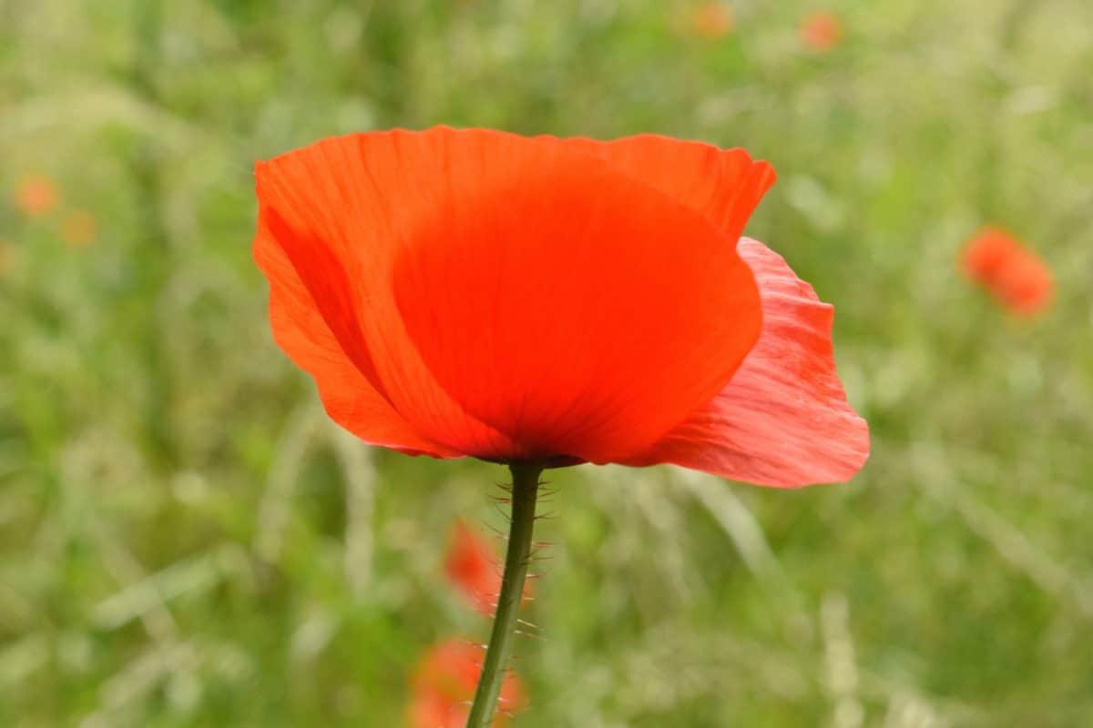Blume, Rasen, Feld, Natur, Flora, Mohn, Sommer, Blüte