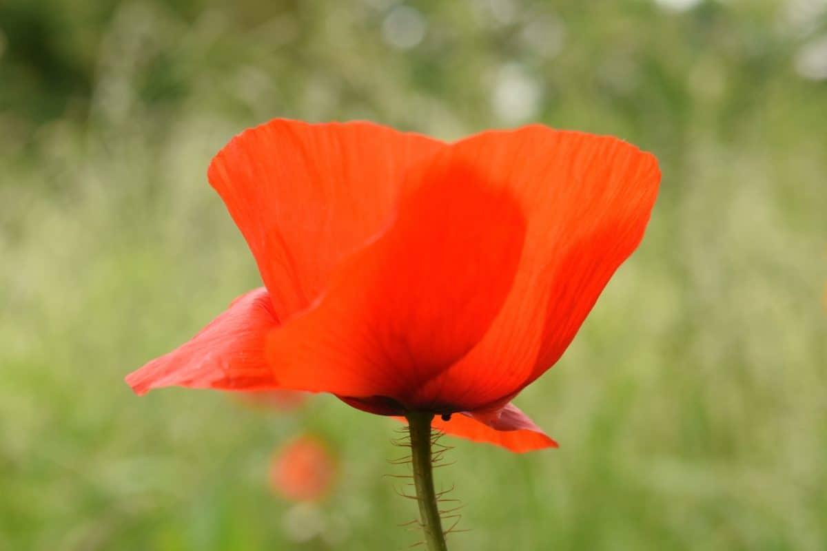 flora, naturaleza, flores silvestres, jardín, flor del campo, amapola, verano,