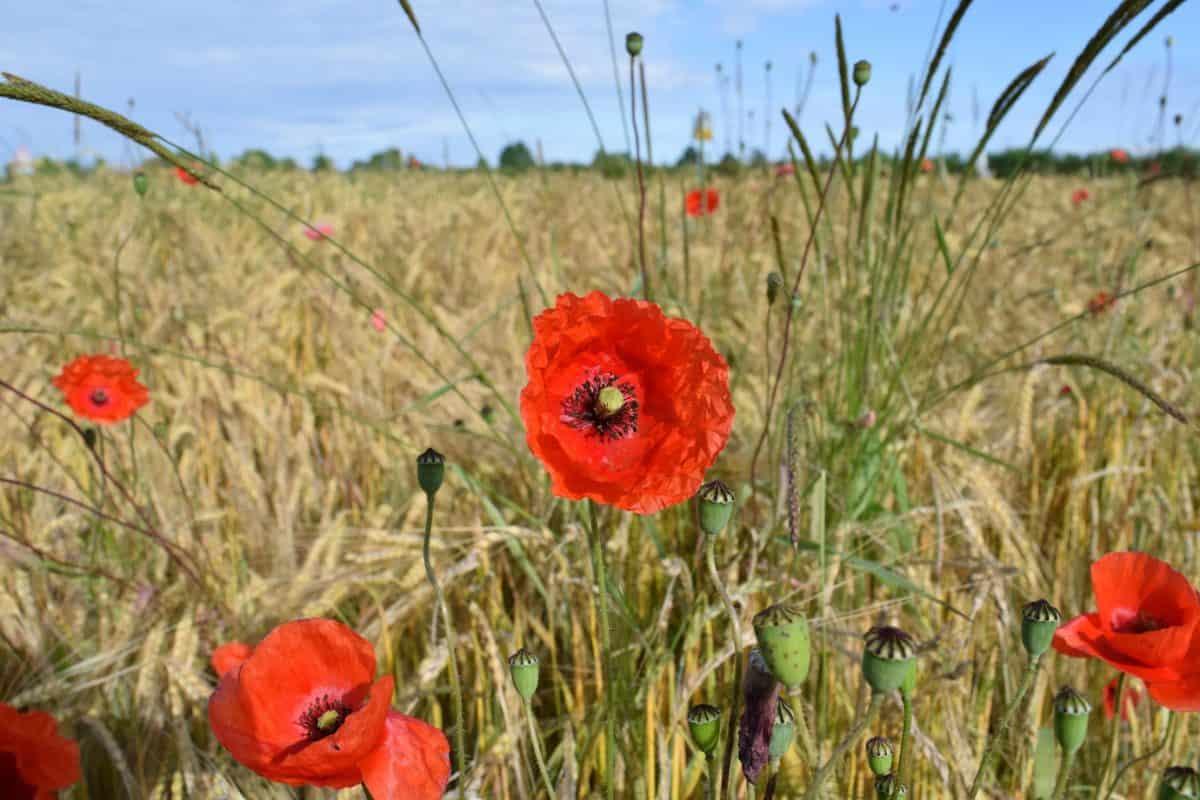 champ, été, herbe, flore, nature, fleur, rouge coquelicot, pré