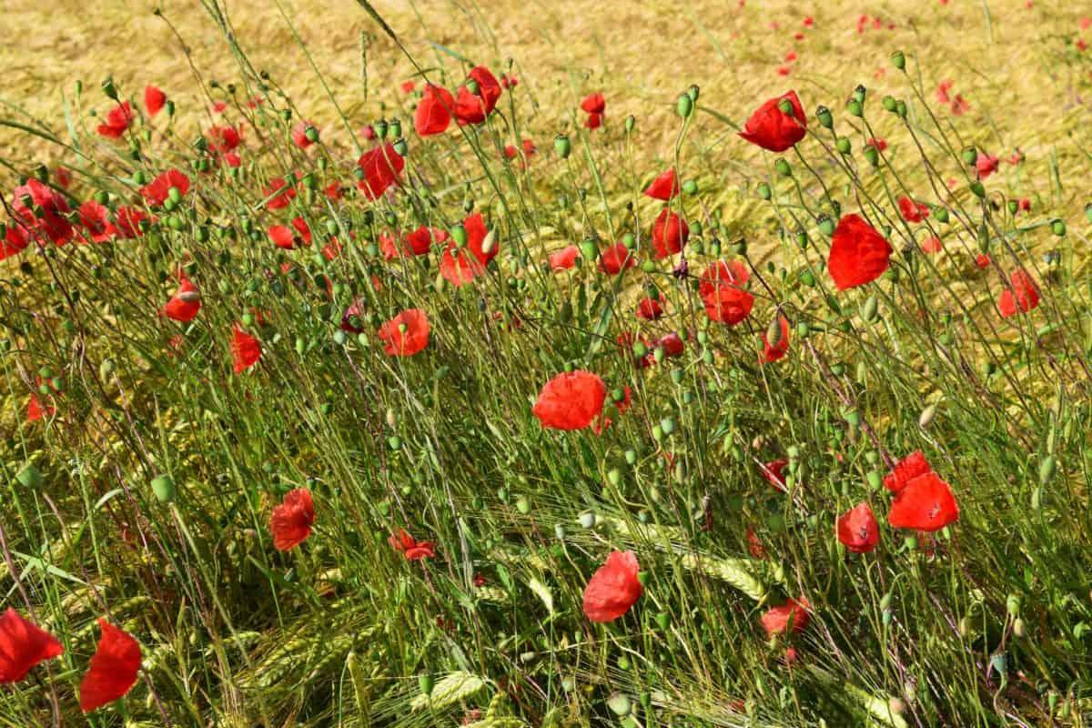 Natur, Flora, Wildblumen, Sommer, Rasen, Feld, Mohn, rote Blüte