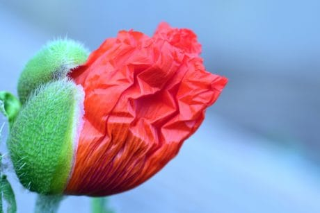 nature, wildflower, poppy, petal, garden, plant, blossom