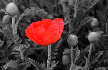 flora, red flower, monochrome, nature, poppy, petal, plant, blossom