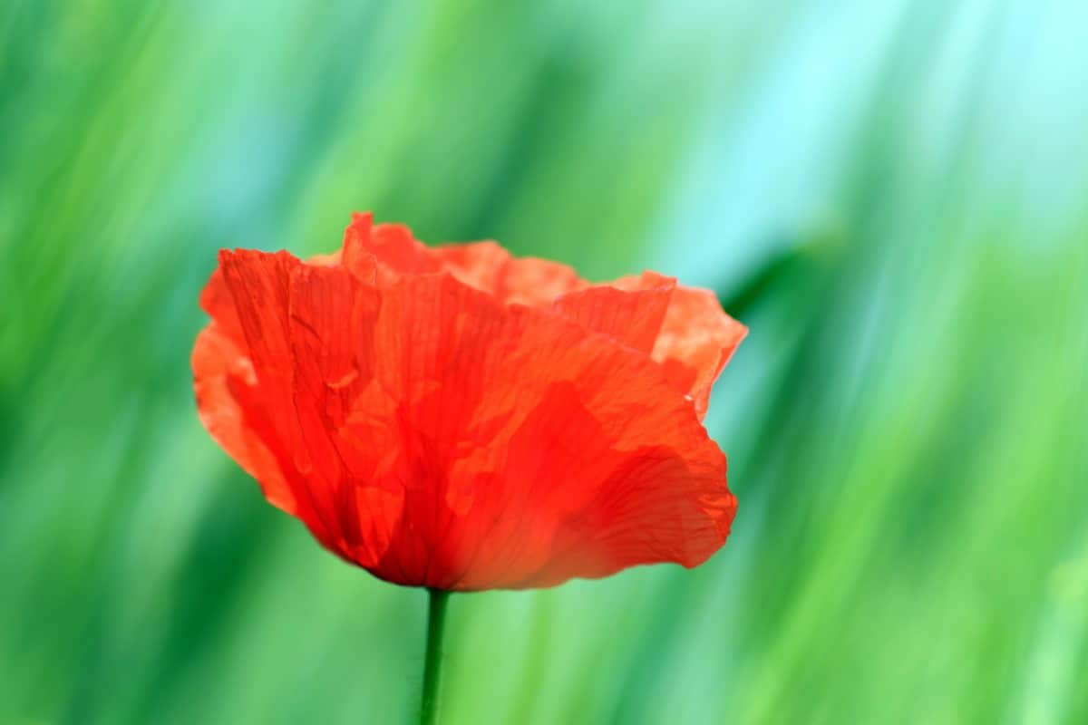 jardín, hoja, flora, verano, naturaleza, flor, pistilo, amapola, flor de