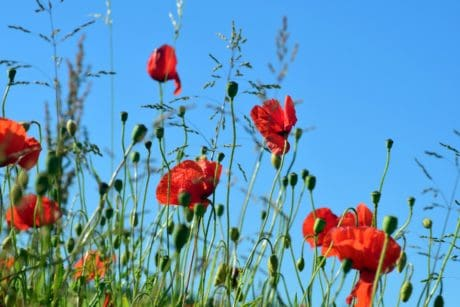 nature, field, meadow, poppy, leaf, flower, flora, summer, blossom