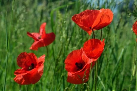 poppy, nature, grass, summer, flower, flora, field, blossom