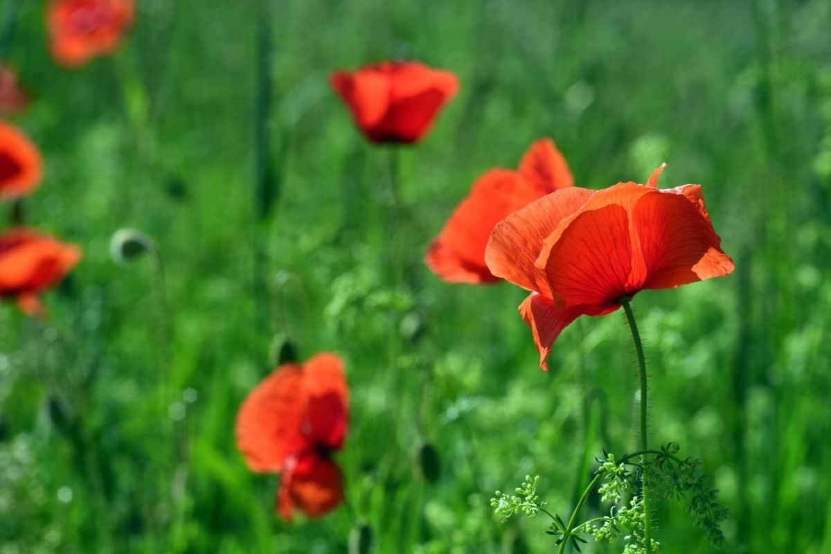 adormidera, campo, verano, flores de jardín, rojo, naturaleza, hierba, flora