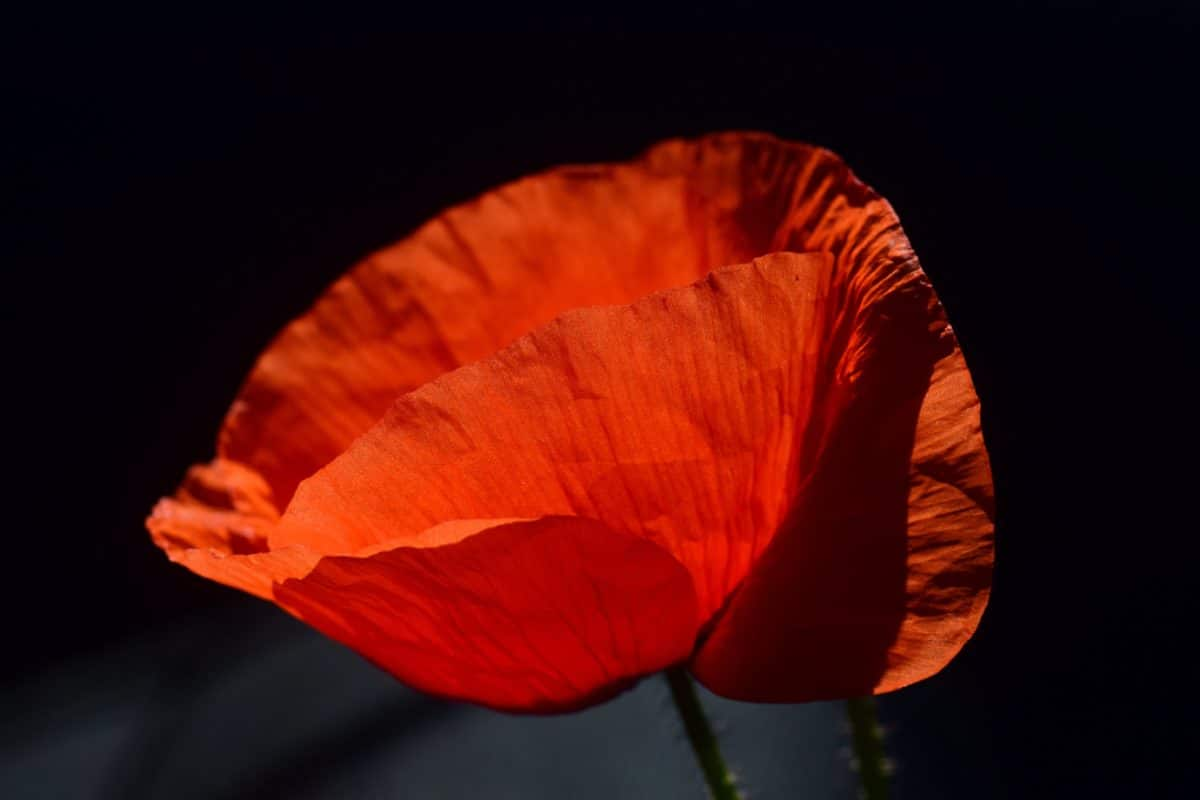 nature, poppy, plant, flora, red, flower, amcro, shadow