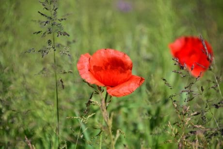 meadow, nature, summer, flora, leaf, grass, field, flower, poppy