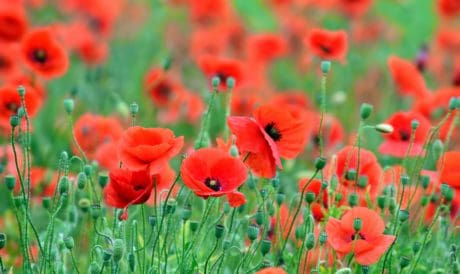 poppy, meadow, red, summer, grass, flower, flora, field, garden, nature