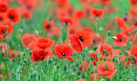 coquelicot, meadow, rouge, été, herbe, fleur, flore, champ, jardin, nature