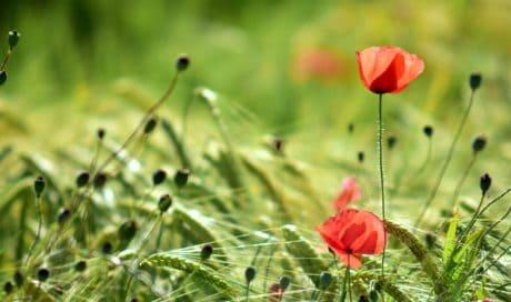 l'été, l'herbe verte, en plein air, flore, nature, feuilles, fleur, pavot, champ