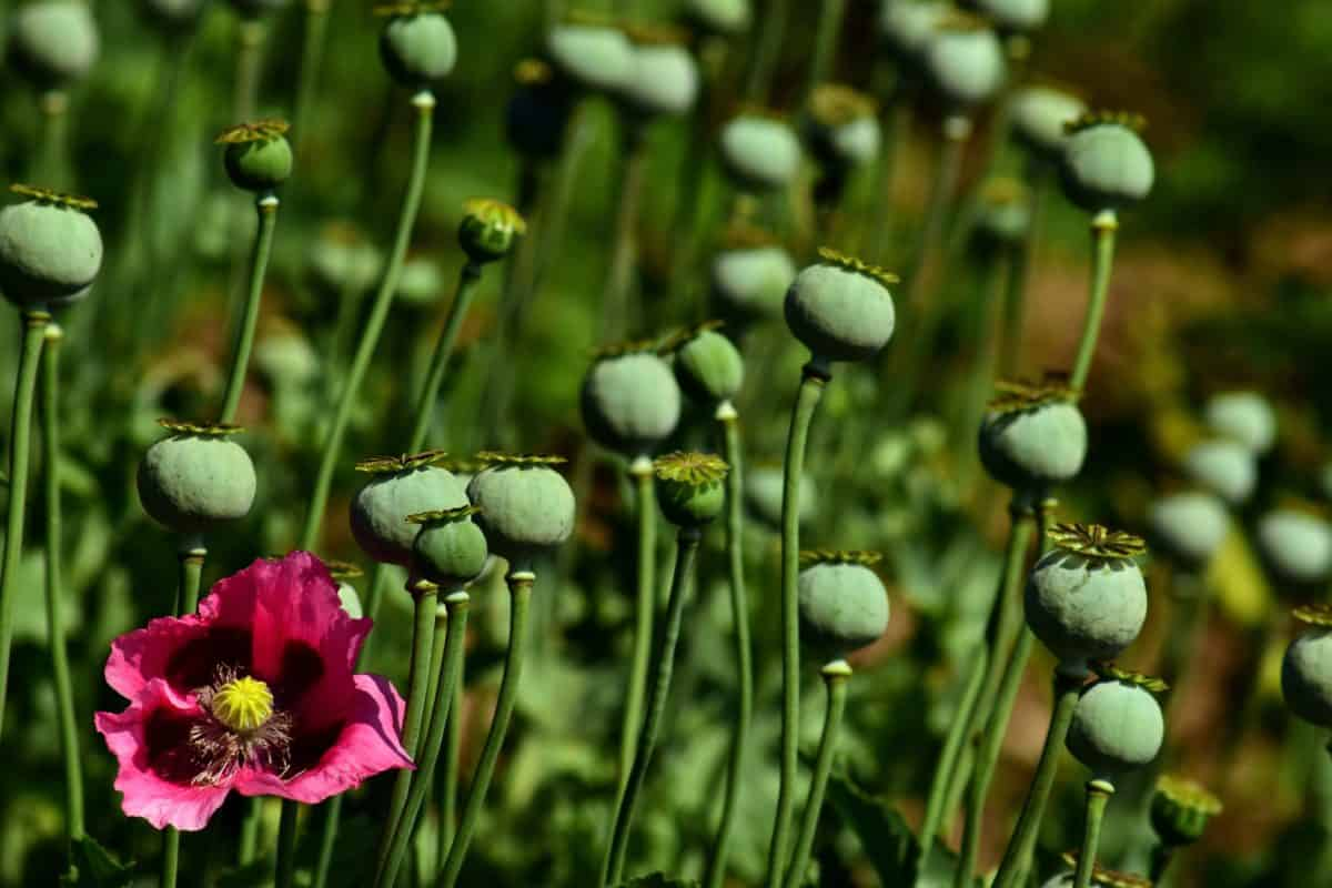 poppy, plant, agriculture, flower, summer, food, flora