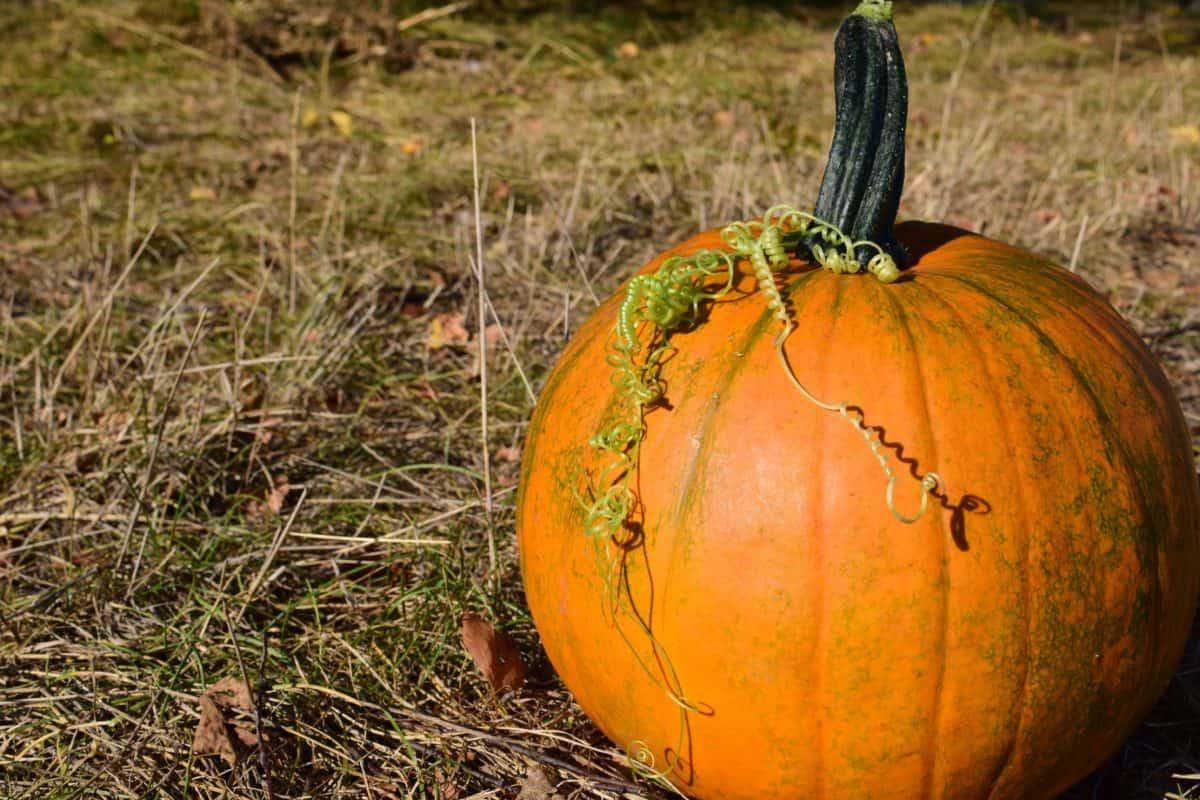 zucca, foglia, verdura, autunno, cibo, natura, agricoltura