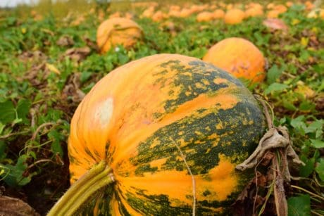 pumpkin, nature, agriculture, leaf, vegetable, autumn, food