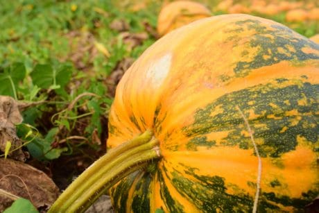 food, sky, pumpkin, plant, sky, agriculture, food, vegetables