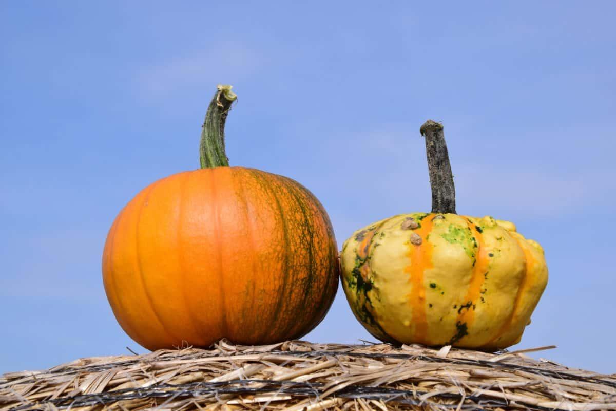 food, sky, pumpkin, straw, agriculture, food, dry, vegetables, plant, sky