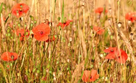 flora, summer, meadow, field, flower, poppy, nature, grass, meadow