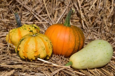 pumpkin, straw, dry, vegetable, plant