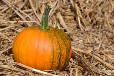 pumpkin, agriculture, vegetable, autumn, food, organic, grass