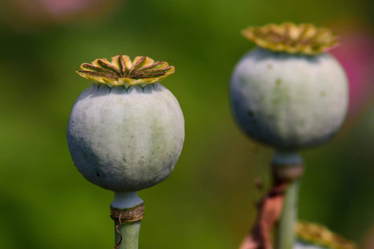 plant, poppy, agriculture, nature, vegetable, seed