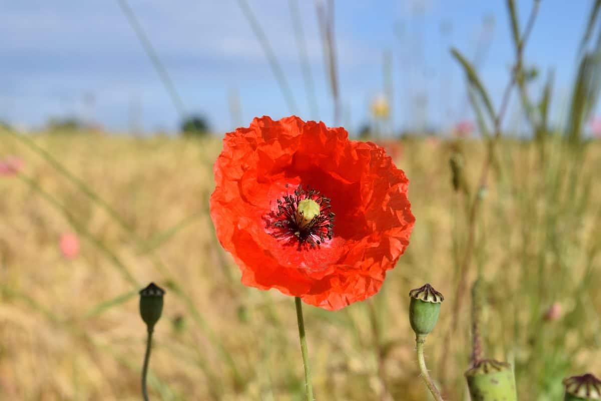 herbe, nature, été, flore, champ, fleurs, meadow, pavot, fleur