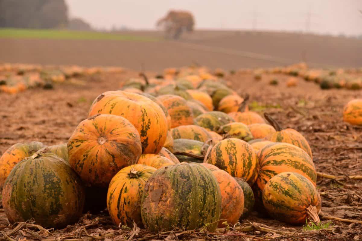 Landwirtschaft, Kürbis, Gemüse, Lebensmittel, Herbst