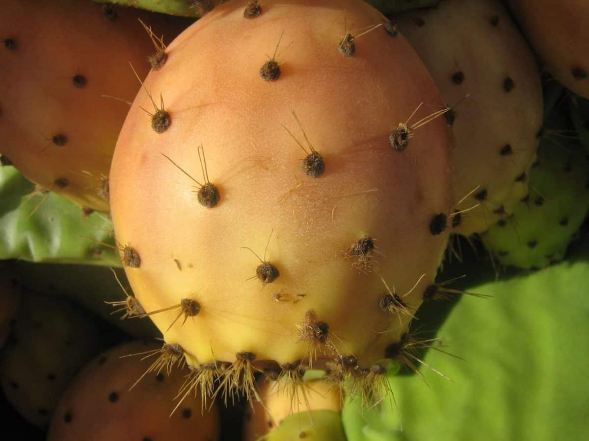 Kaktus, Pflanze, Pflanzen, Garten, scharf
