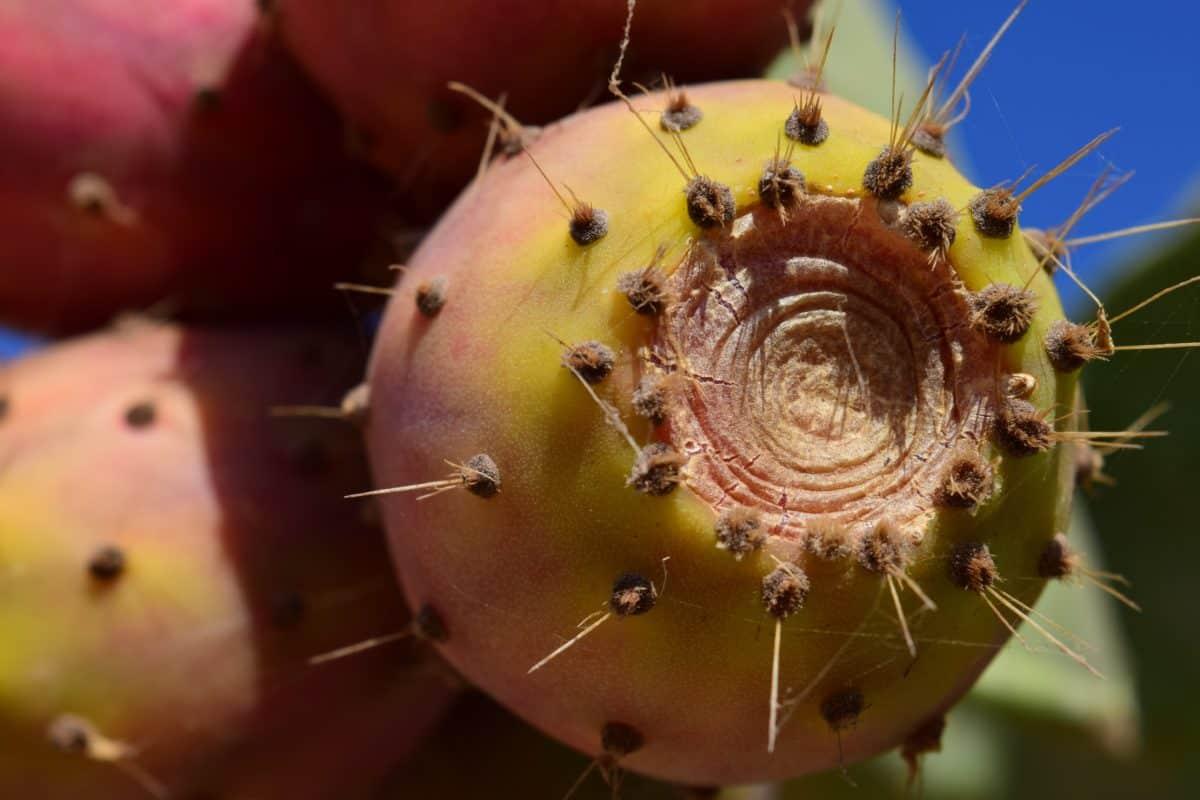 кактус, трън, макро, флора, пустиня, Градина, природа, Спайк, остри, растителна