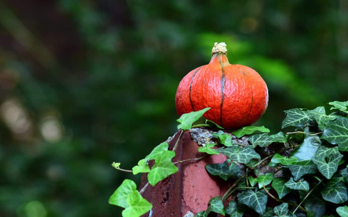 leaf, nature, food, fruit, garden, flora, pumpkin, vegetable