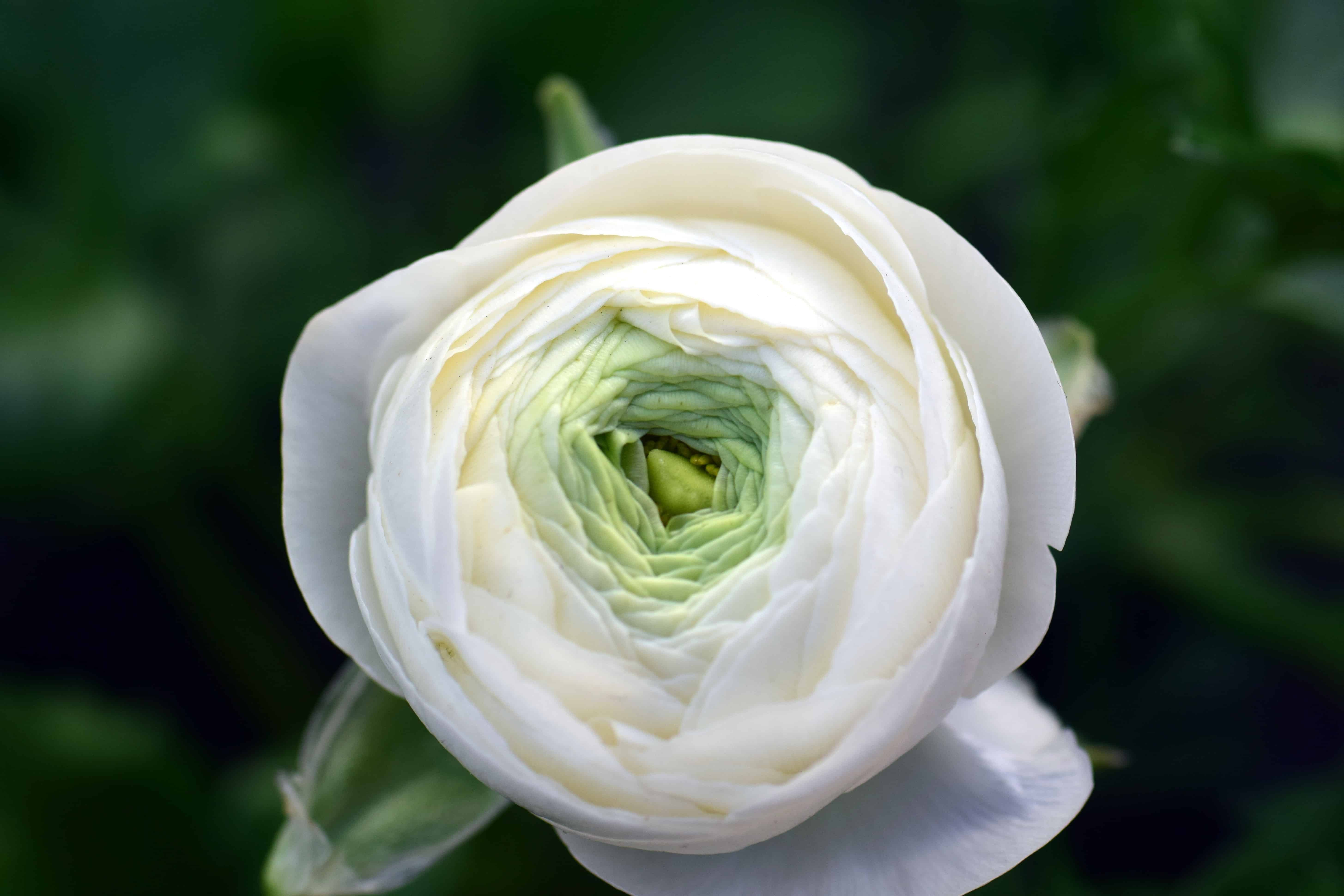 Free picture nature leaf white flower flower bud flora rose nature leaf white flower flower bud flora rose white blossom petal mightylinksfo