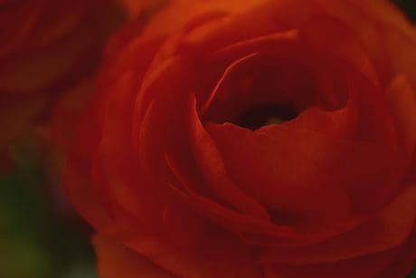 flower, rose, petal, plant, shadow, macro, red