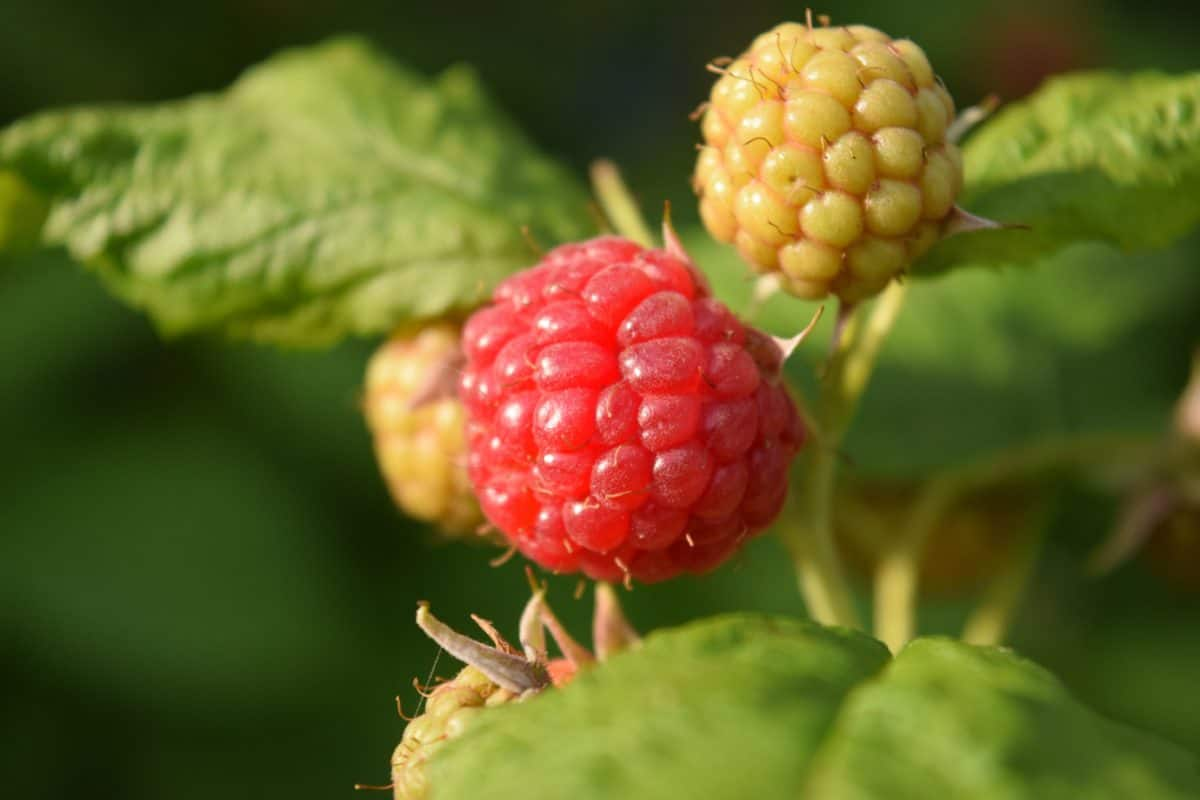 berry, food, nature, leaf, fruit, raspberry, sweet, dessert