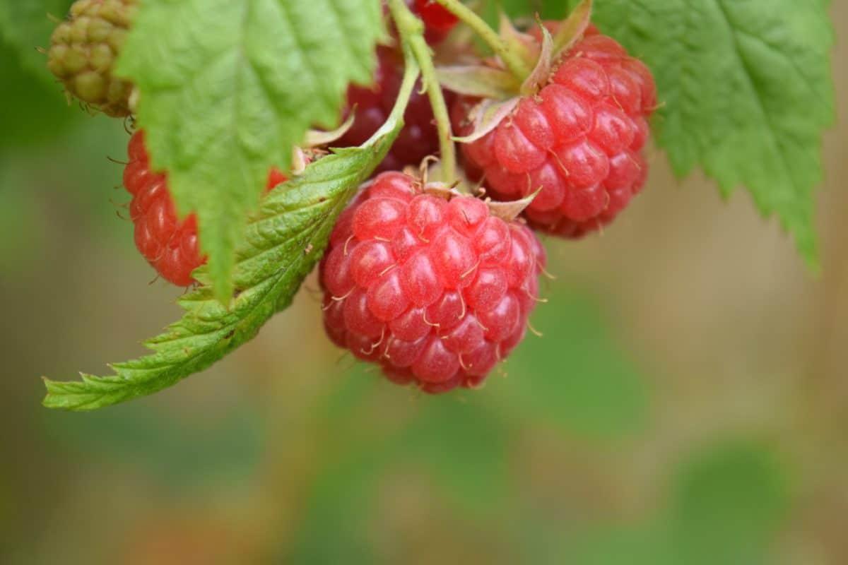 fruit, garden, food, berry, summer, delicious, nature, leaf
