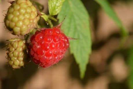 nature, fruit, food, leaf, raspberry, berry, sweet