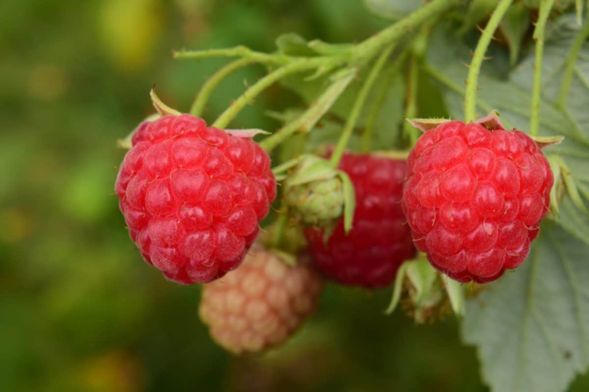 garden, raspberry, food, fruit, leaf, nature, berry, delicious