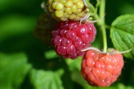 leaf, nature, food, berry, delicious, fruit, nutrition, raspberry