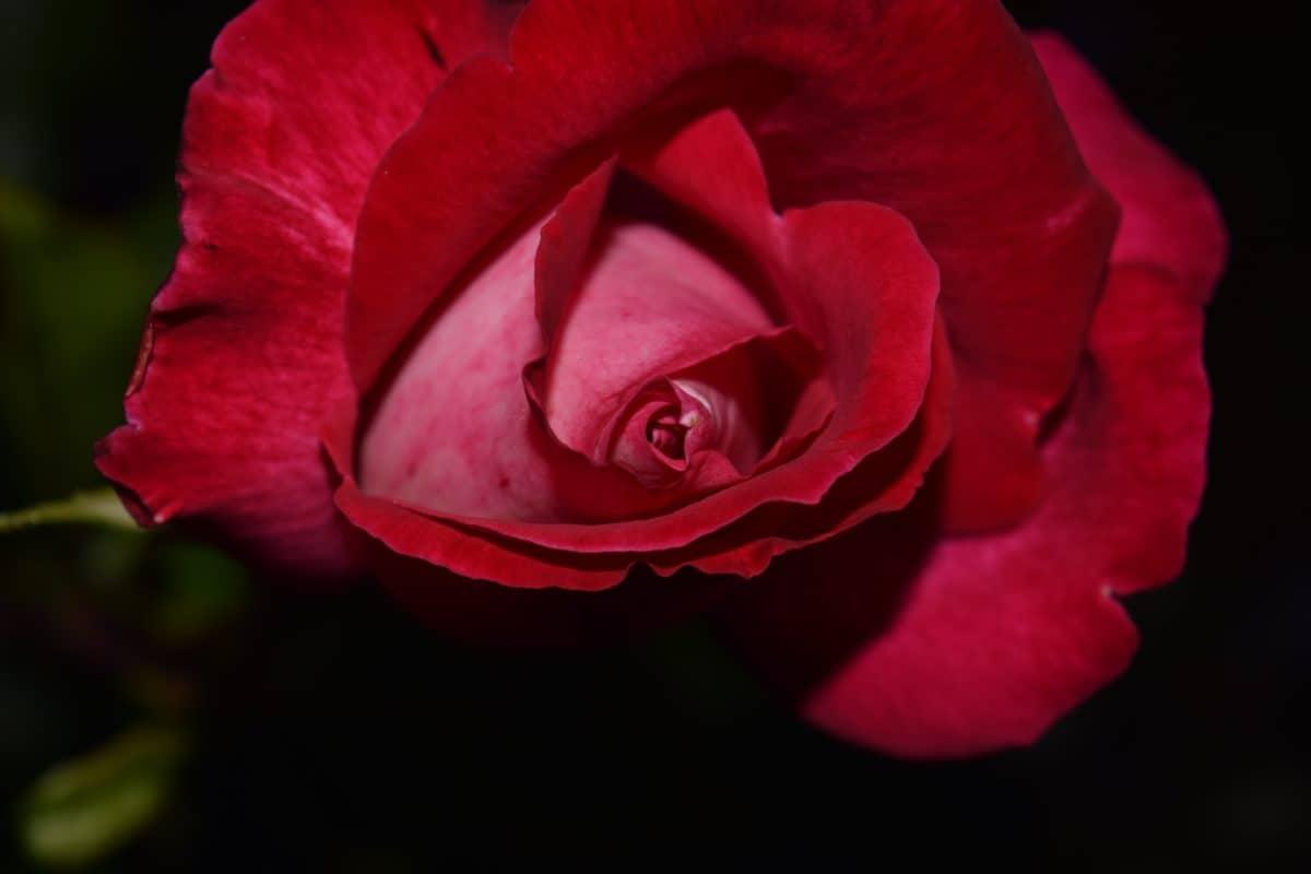 flora, leaf, nature, rose, flower, petal, plant