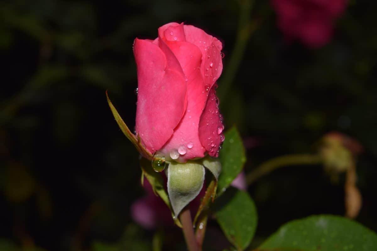 rugiada, goccia di pioggia, rosa, fiore, foglia, natura, giardino, petalo, flora, pianta, fiore