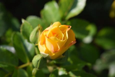 yellow flower, nature, leaf, petal, flora, garden, rose, plant, blossom