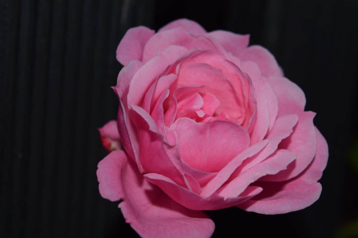 flower, petal, darikess, macro, rose, pink, plant, bloom, blossom, garden