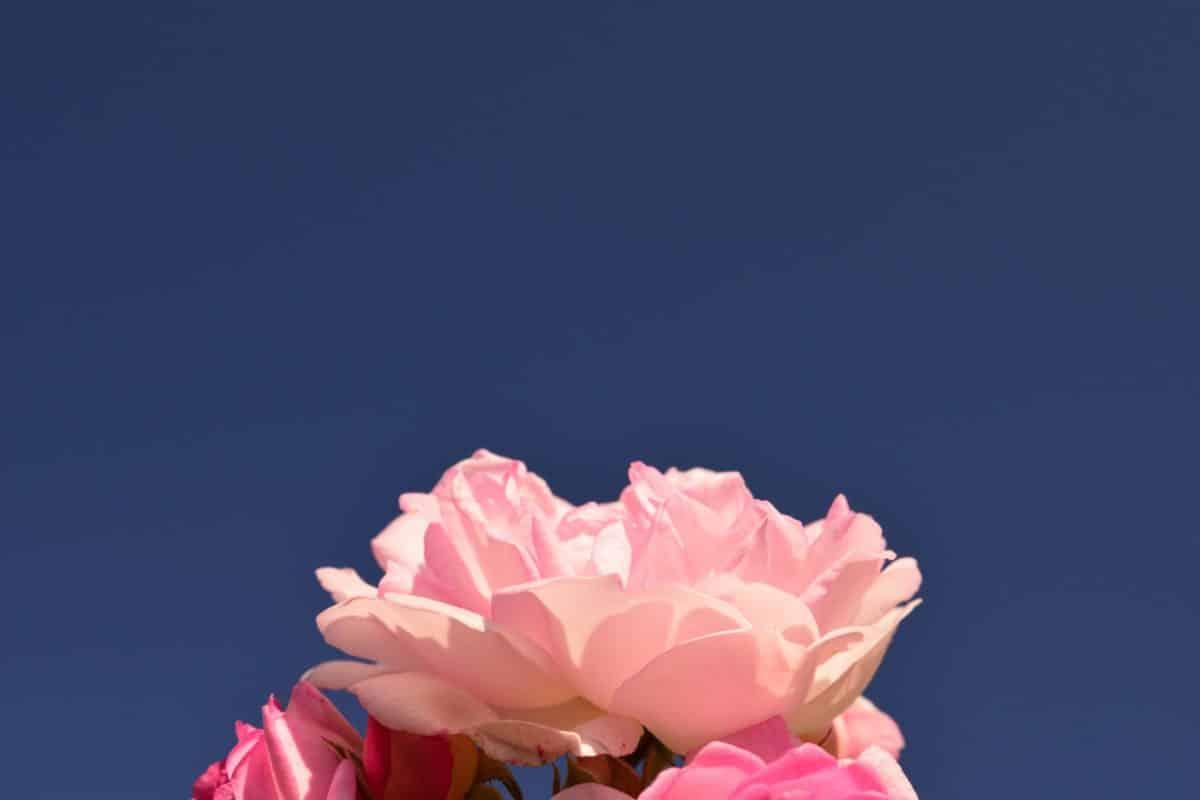 nature, summer, blue sky, flower, rose, petal, pink, plant, blossom