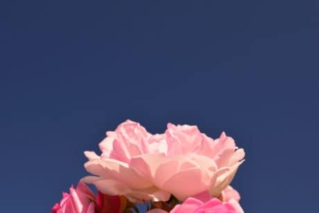 nature, summer, blue sky, flower, rose, petal, pink, plant, blossom