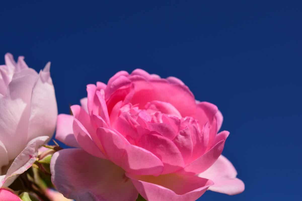 Flora, natura, petalo, rosa, fiore, pianta, rosa